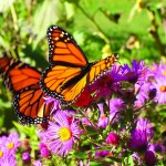 monarch-butterfly-2